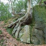 Cock Hollow, Tree Roots
