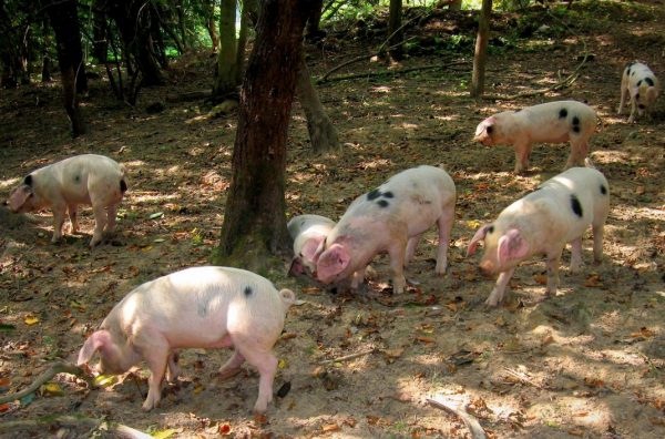 Pigs, Grazing, woodland