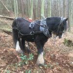 British Horse Logging, Missy, Raincliffe Woods