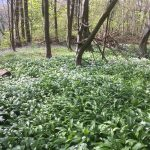 Forge Valley. Wild Garlic