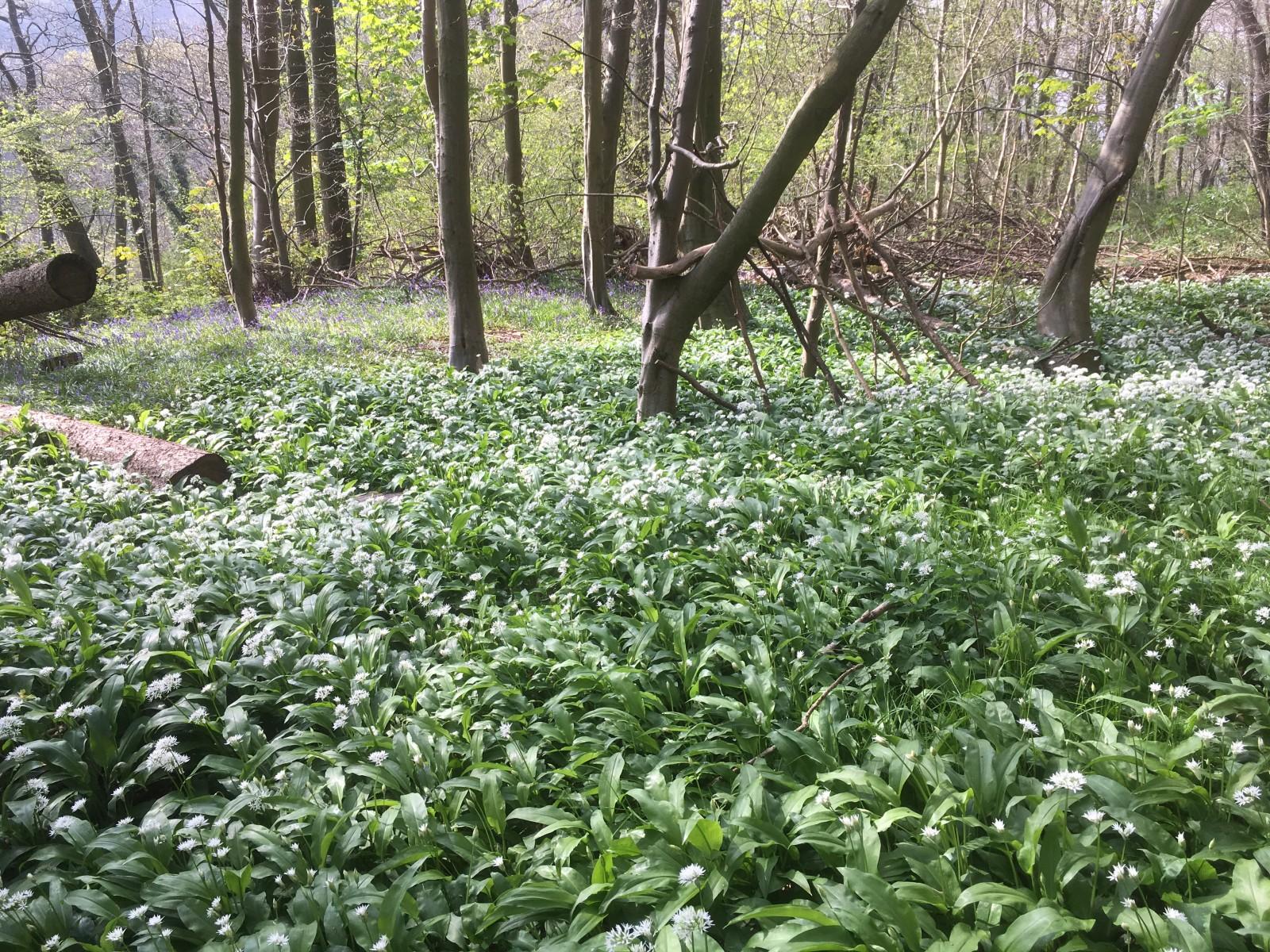 Forge Valley. Wild Garlic