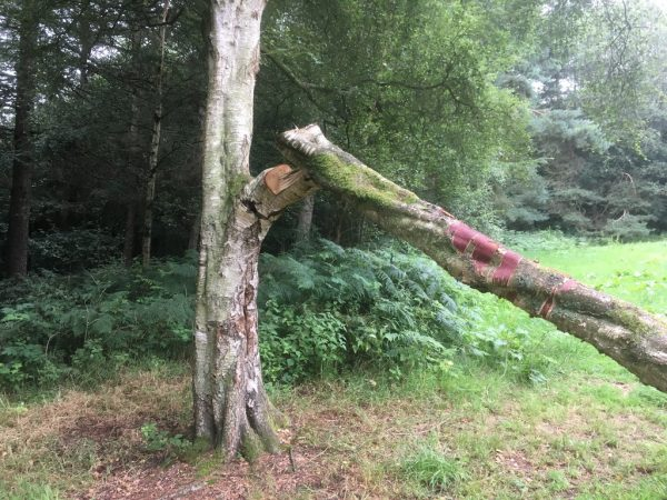 Damaged Silver Birch