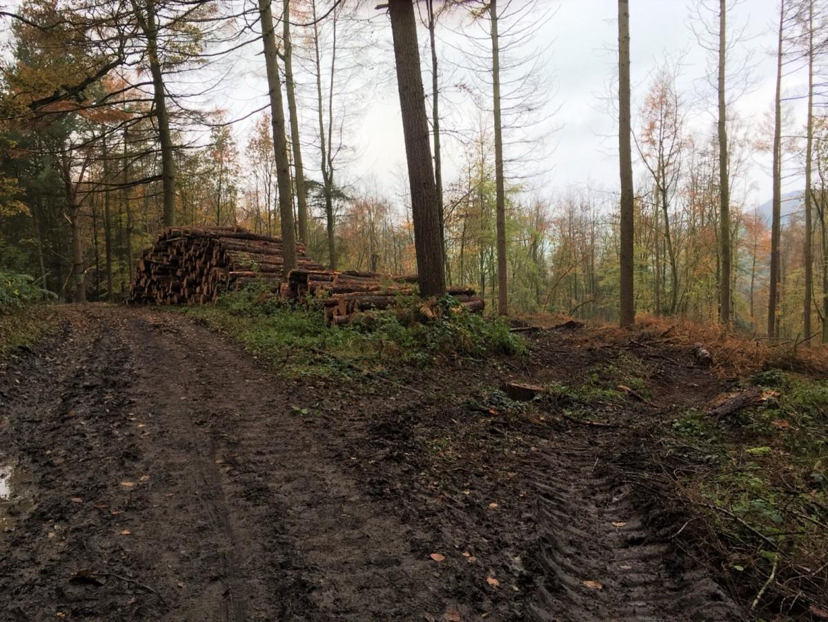 Thinning Raincliffe Woods